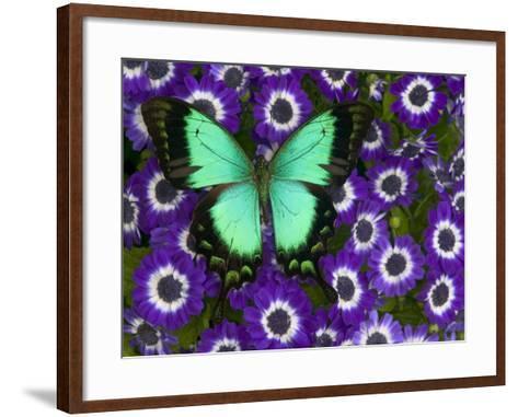 Albertisi Swallowtail on Flowers-Darrell Gulin-Framed Art Print