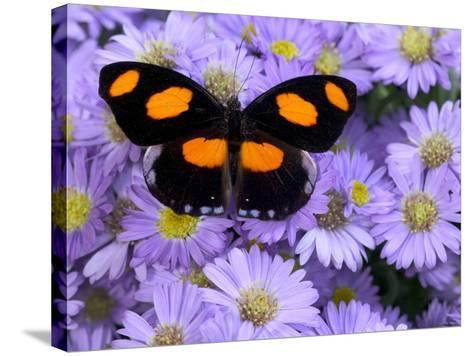 The Grecian Shoemaker Butterfly on Flowers-Darrell Gulin-Stretched Canvas Print