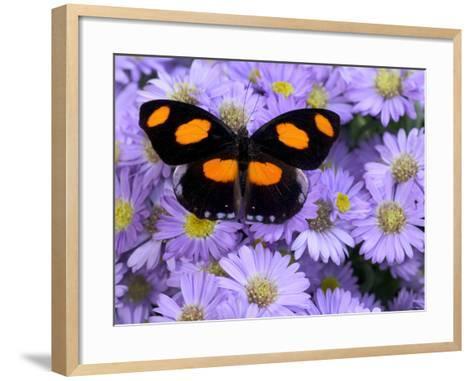 The Grecian Shoemaker Butterfly on Flowers-Darrell Gulin-Framed Art Print