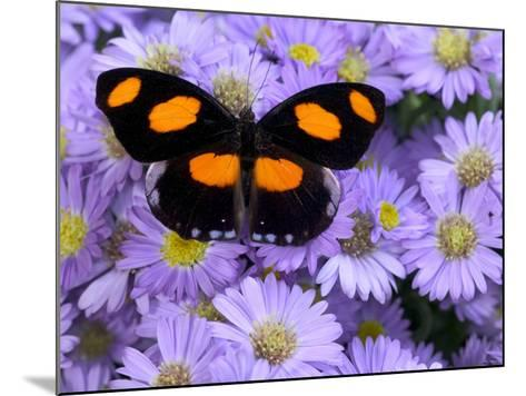 The Grecian Shoemaker Butterfly on Flowers-Darrell Gulin-Mounted Photographic Print