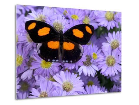 The Grecian Shoemaker Butterfly on Flowers-Darrell Gulin-Metal Print