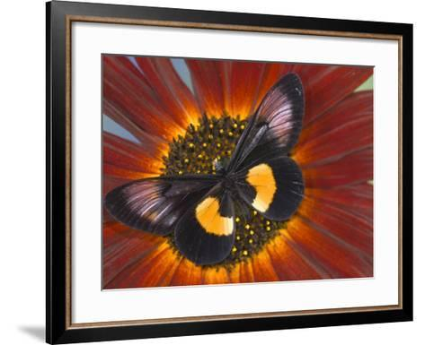 Miyana Meyeri Butterfly on Flowers-Darrell Gulin-Framed Art Print