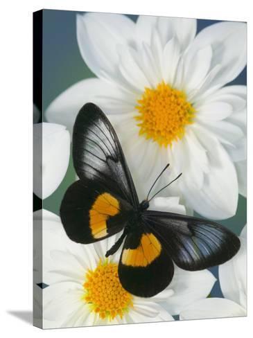 Miyana Meyeri Butterfly on Flowers-Darrell Gulin-Stretched Canvas Print