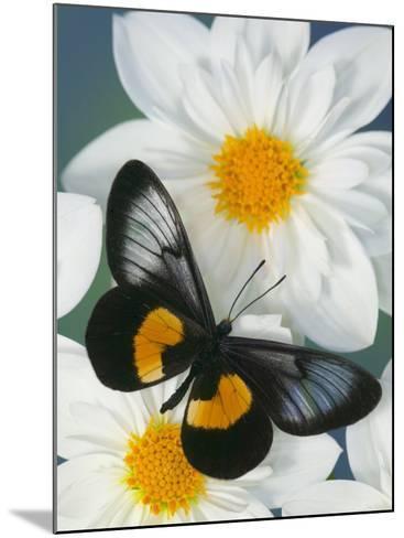 Miyana Meyeri Butterfly on Flowers-Darrell Gulin-Mounted Photographic Print