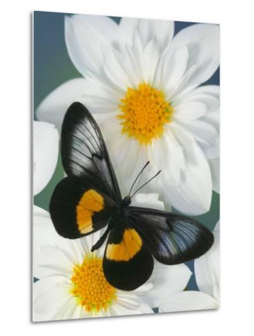 Miyana Meyeri Butterfly on Flowers-Darrell Gulin-Metal Print