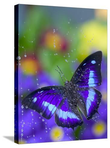 Prepona Butterfly Caught in Dew-Darrell Gulin-Stretched Canvas Print