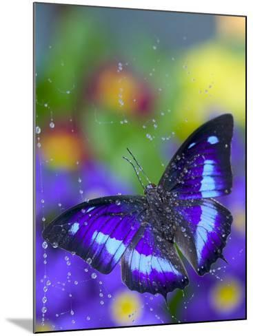 Prepona Butterfly Caught in Dew-Darrell Gulin-Mounted Photographic Print