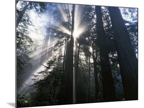 Redwoods in fog, Redwood National Park, California, USA-Charles Gurche-Mounted Photographic Print