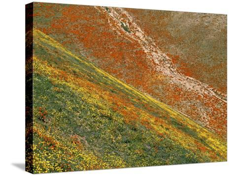 Wildflowers, Tehachapi Mountains, California, USA-Charles Gurche-Stretched Canvas Print