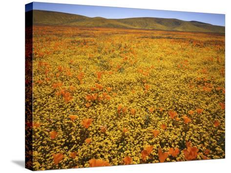 Lupine and California Poppies, Tehachapi Mountains, California, USA-Charles Gurche-Stretched Canvas Print