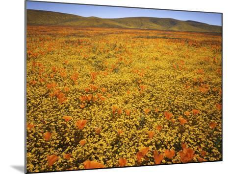 Lupine and California Poppies, Tehachapi Mountains, California, USA-Charles Gurche-Mounted Photographic Print