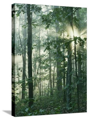 Oak Forest in morning fog, Mark Twain National Forest, Missouri, USA-Charles Gurche-Stretched Canvas Print