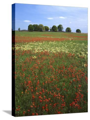 Indian Paintbrush meadow, Taberville Prairie Natural Area, Missouri, USA-Charles Gurche-Stretched Canvas Print
