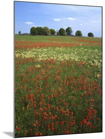 Indian Paintbrush meadow, Taberville Prairie Natural Area, Missouri, USA-Charles Gurche-Mounted Photographic Print