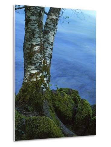 Alder Trunk along the McKenzie River, Willamette National Forest, Oregon, USA-Charles Gurche-Metal Print