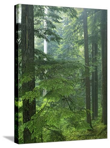 Old growth forest, Mt. Rainier National Park, Washington, USA-Charles Gurche-Stretched Canvas Print