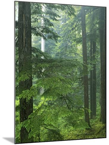 Old growth forest, Mt. Rainier National Park, Washington, USA-Charles Gurche-Mounted Photographic Print
