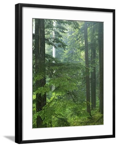 Old growth forest, Mt. Rainier National Park, Washington, USA-Charles Gurche-Framed Art Print