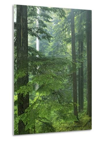 Old growth forest, Mt. Rainier National Park, Washington, USA-Charles Gurche-Metal Print