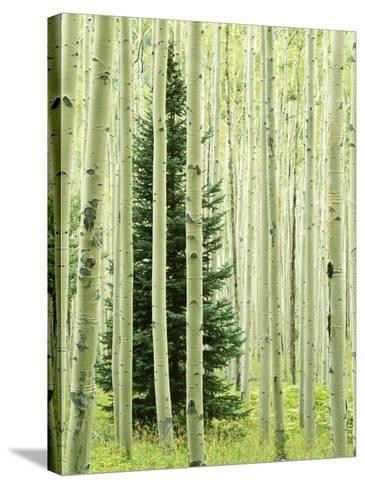 Silver FIr in Aspen Grove, White River National Forest, Colorado, USA-Charles Gurche-Stretched Canvas Print