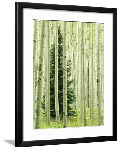 Silver FIr in Aspen Grove, White River National Forest, Colorado, USA-Charles Gurche-Framed Art Print