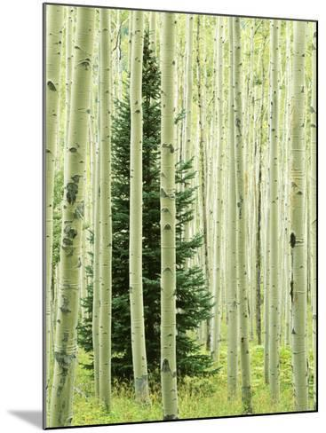 Silver FIr in Aspen Grove, White River National Forest, Colorado, USA-Charles Gurche-Mounted Photographic Print