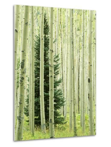 Silver FIr in Aspen Grove, White River National Forest, Colorado, USA-Charles Gurche-Metal Print
