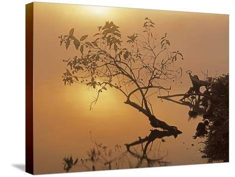 Buttonbush at dawn, Lake of the Ozarks, Missouri, USA-Charles Gurche-Stretched Canvas Print