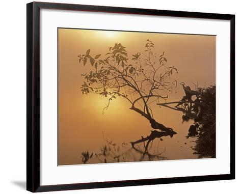 Buttonbush at dawn, Lake of the Ozarks, Missouri, USA-Charles Gurche-Framed Art Print