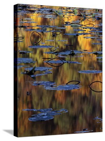 American Lotus in Autumn, Lake of the Ozarks, Missouri, USA-Charles Gurche-Stretched Canvas Print