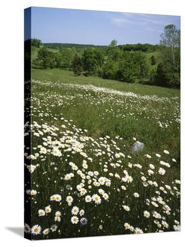 Daisy Meadow, Saline County, Missouri, USA-Charles Gurche-Stretched Canvas Print