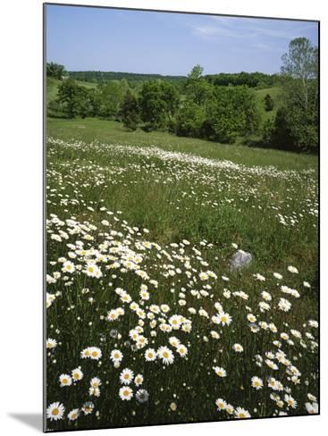 Daisy Meadow, Saline County, Missouri, USA-Charles Gurche-Mounted Photographic Print