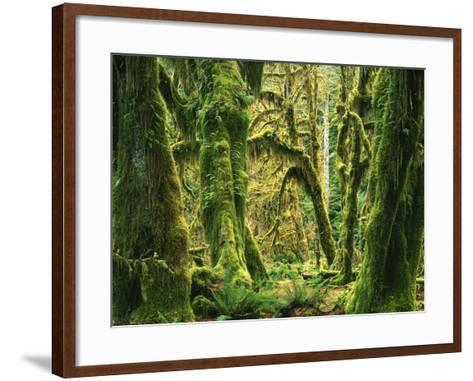 Moss covered Bigleaf Maples, Hoh Rain Forest, Olympic National Park, Washington, USA-Charles Gurche-Framed Art Print