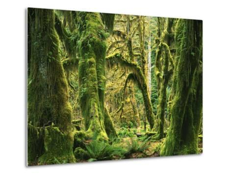 Moss covered Bigleaf Maples, Hoh Rain Forest, Olympic National Park, Washington, USA-Charles Gurche-Metal Print