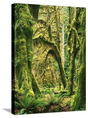 Moss covered Bigleaf Maples, Hoh Rain Forest, Olympic National Park, Washington, USA-Charles Gurche-Stretched Canvas Print