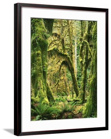 Moss covered Bigleaf Maples, Hoh Rain Forest, Olympic National Park, Washington, USA-Charles Gurche-Framed Art Print
