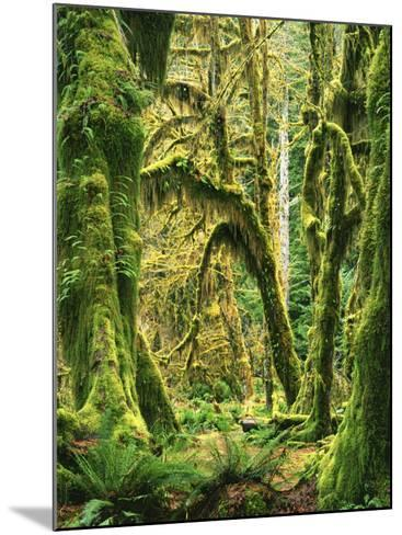 Moss covered Bigleaf Maples, Hoh Rain Forest, Olympic National Park, Washington, USA-Charles Gurche-Mounted Photographic Print
