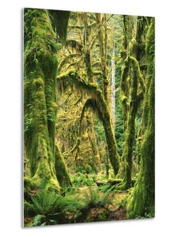 Moss covered Bigleaf Maples, Hoh Rain Forest, Olympic National Park, Washington, USA-Charles Gurche-Metal Print