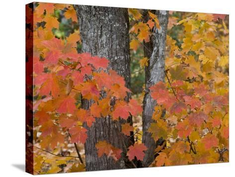Fall Maple Trees, Keweenaw Penninsula, Michigan, USA-Chuck Haney-Stretched Canvas Print