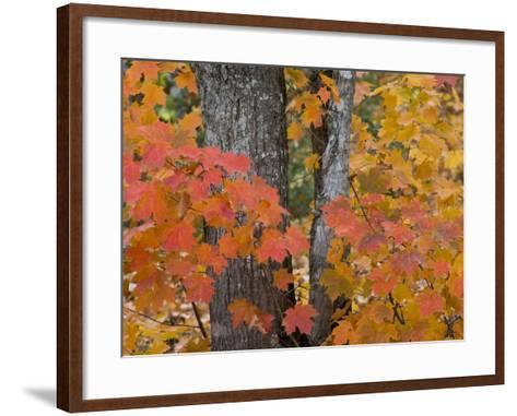 Fall Maple Trees, Keweenaw Penninsula, Michigan, USA-Chuck Haney-Framed Art Print
