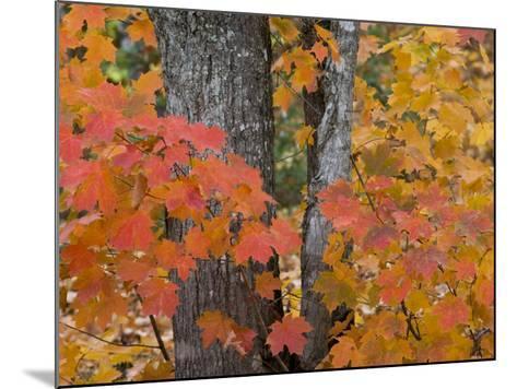 Fall Maple Trees, Keweenaw Penninsula, Michigan, USA-Chuck Haney-Mounted Photographic Print
