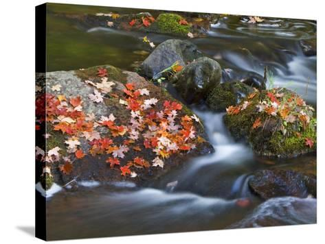 Red Maple Leaves, Little Carp River, Porcupine Mountains State Park, Michigan, USA-Chuck Haney-Stretched Canvas Print
