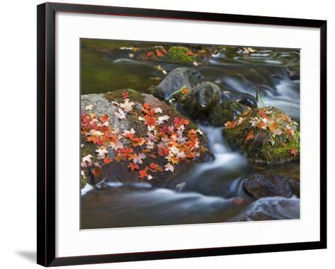 Red Maple Leaves, Little Carp River, Porcupine Mountains State Park, Michigan, USA-Chuck Haney-Framed Art Print