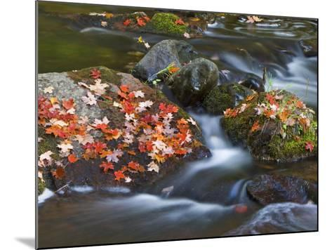 Red Maple Leaves, Little Carp River, Porcupine Mountains State Park, Michigan, USA-Chuck Haney-Mounted Photographic Print