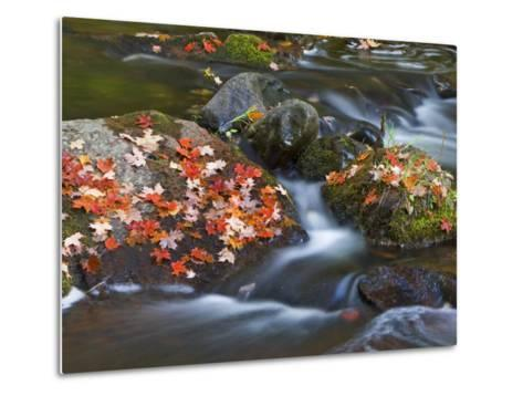 Red Maple Leaves, Little Carp River, Porcupine Mountains State Park, Michigan, USA-Chuck Haney-Metal Print