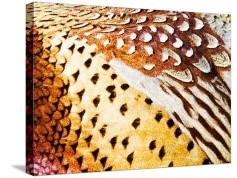 Close Up Pheasant Feathers, Moiese, Montana, USA-Chuck Haney-Stretched Canvas Print