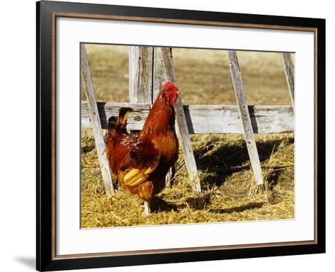 Red Rooster, Rhode Island, USA-Chuck Haney-Framed Art Print