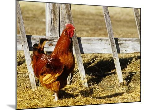 Red Rooster, Rhode Island, USA-Chuck Haney-Mounted Photographic Print