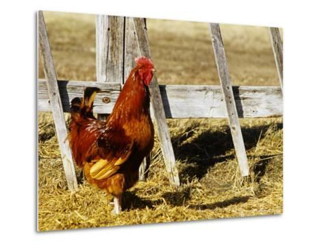 Red Rooster, Rhode Island, USA-Chuck Haney-Metal Print
