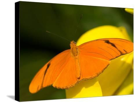 Orange Julia Longwing Butterfly, Brookside Gardens, Wheaton, Maryland, USA-Corey Hilz-Stretched Canvas Print